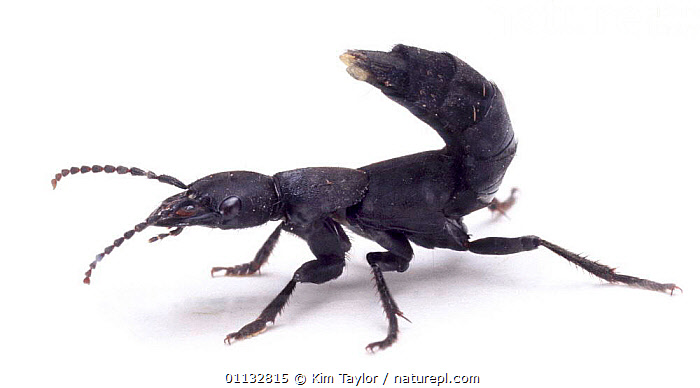 Devil's Coach-horse Beetle, note scent organs at tip of tail, UK, captive.  ,  CUTOUT,DEVIL,DEFENSE,DEFENSIVE,COLEOPTERA,BEETLES,ENGLAND,EUROPE,INSECTS,TAILS,SHOWING,STAPHYLINUS,PORTRAITS,United Kingdom,Behaviour,Invertebrates,British,Equines  ,  Kim Taylor