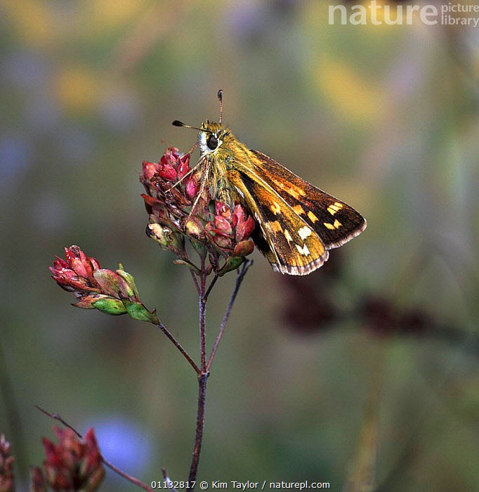 Silver-Spotted Skipper butterfly (Epargyreus clarus) basking on Marjoram at sunrise.  ,  BUTTERFLIES,ENGLAND,EUROPE,INSECTS,UK,THERMOREGULATION,PLANTS,LEPIDOPTERA,United Kingdom,Invertebrates,British,CREWS  ,  Kim Taylor