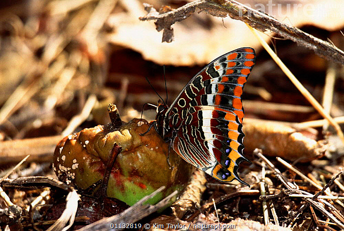Two-tailed Pasha butterfly (Charaxes jasius) feeding on fallen apple  ,  BUTTERFLIES,ENGLAND,EUROPE,FRUIT,INSECTS,LEPIDOPTERA,Plants,Invertebrates  ,  Kim Taylor
