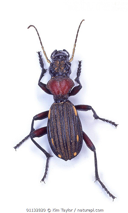 Ten-spotted Ground Beetle (Thermophilum decemguttatum). South Africa, Captive  ,  PORTRAITS,INSECTS,EUROPE,ENGLAND,BEETLES,CUTOUT,COLEOPTERA,Invertebrates  ,  Kim Taylor