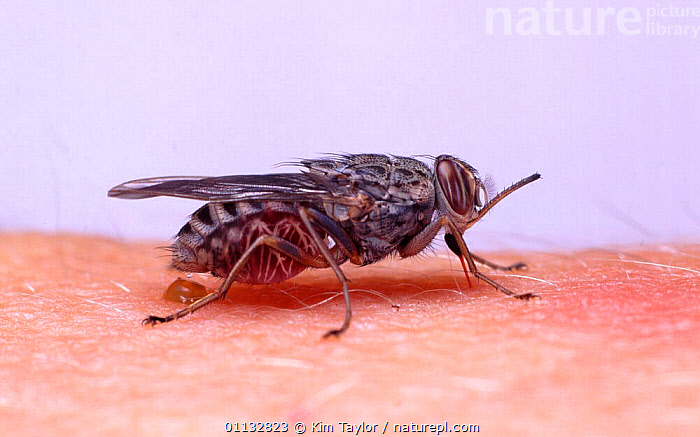 Tsetse Fly (Glossina morsitans) sucking blood from human arm. Captive.  ,  DIPTERA,DISEASE,ARM,AFRICA,BEHAVIOUR,INSECTS,FEEDING,FLIES,PESTS,PROFILE,Invertebrates  ,  Kim Taylor