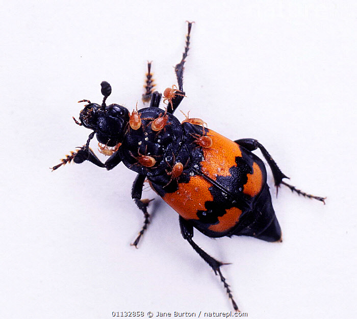Sexton / Burying Beetle (Nicrophorus vespilloides) with phoretic mites, UK.  ,  INSECTS,MIXED SPECIES,PARASITES,UK,ENGLAND,EUROPE,BEETLES,DISEASE,COLEOPTERA,United Kingdom,Invertebrates,British  ,  Jane Burton