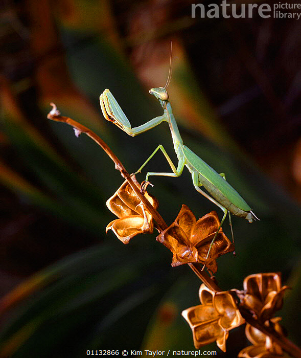 Giant Green Mantis (Sphodomantis gastrica) on wild hibiscus seedheads, Namibia  ,  SOUTHERN AFRICA,INSECTS,PHASMIDA,PRAYING,AFRICA,Invertebrates,Mantodea  ,  Kim Taylor
