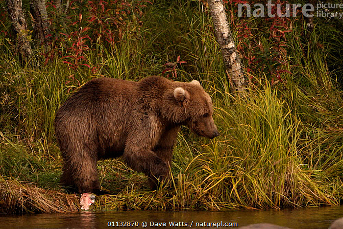 Grizzly bear {Ursus arctos horribilis} with recently caught Salmon, Alaska  ,  USA,BEARS,CARNIVORES,MAMMALS,FEEDING,NORTH AMERICA,RIVERS,FISHING  ,  Dave Watts