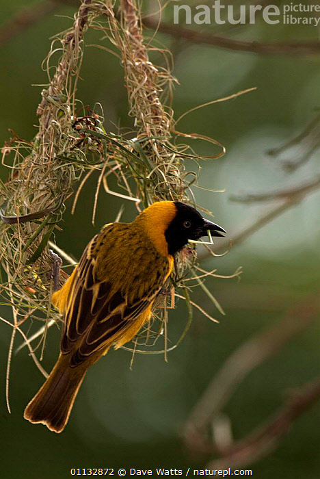 Lesser masked weaver male building nest {Ploceus intermedius} Kruger NP, South Africa.  ,  VERTICAL,NESTING BEHAVIOUR,SOUTHERN AFRICA,AFRICA,BIRDS,MAKING,NESTS,RESERVE,Reproduction  ,  Dave Watts