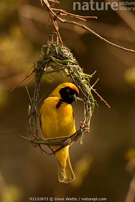 African masked weaver male building nest {Ploceus velatus} Kruger NP, S Africa  ,  NESTS,SOUTHERN AFRICA,MALES,BIRDS,NESTING BEHAVIOUR,VERTICAL,Reproduction  ,  Dave Watts
