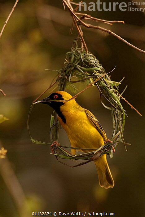 African masked weaver male weaving nest {Ploceus velatus} Kruger NP, S Africa  ,  VERTICAL,SOUTHERN AFRICA,NESTS,BIRDS,NESTING BEHAVIOUR,MALES,BUILDING,Reproduction  ,  Dave Watts
