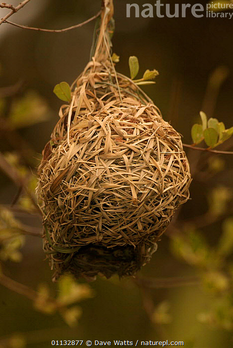 Nest of African masked weaver {Ploceus velatus} Kruger NP, S Africa  ,  BIRDS,VERTICAL,SOUTHERN AFRICA,NESTS  ,  Dave Watts