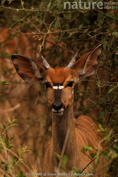 Nyala young male {Tragelaphus angasi} Mkhuzi GR, South Africa  ,  RESERVE,MAMMALS,PORTRAITS,VERTICAL,SOUTHERN AFRICA,FEMALES,ARTIODACTYLA,ANTELOPES  ,  Dave Watts