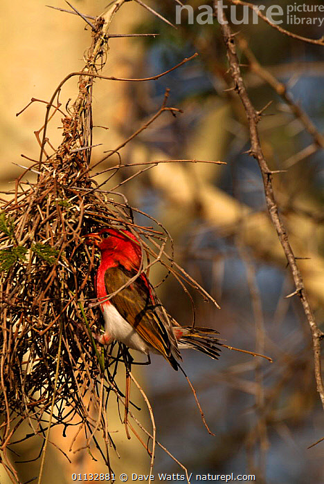 Red headed weaver male weaving nest {Anaplectes rubriceps} Kruger NP, S Africa.  ,  AFRICA, BIRDS, MALES, NESTS, REPRODUCTION, RESERVE, VERTEBRATES, WEAVER-BIRDS  ,  Dave Watts