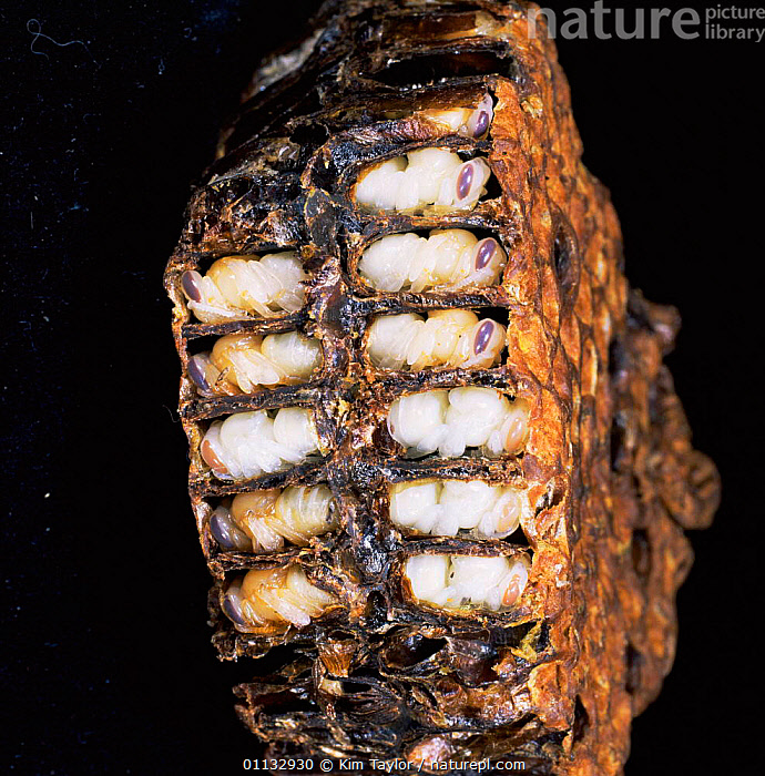 Honey bee {Apis mellifera} cells cut away to show pupae.  ,  PUPA,PUPAE,BEES,HYMENOPTERA,THREE,INSECTS,Invertebrates ,honeybee,honeybees  ,  Kim Taylor