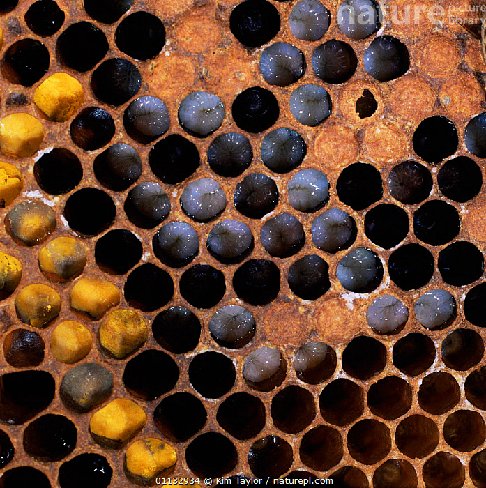 Honey bee comb showing pollen-filled cells containing pupae and open cells larvae  ,  EGGS,BEES,HYMENOPTERA,INSECTS,POLLEN,Invertebrates ,honeybee,honeybees  ,  Kim Taylor
