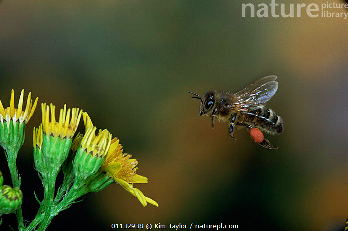Honey bee [Apis mellifera] worker with full pollen sacs in flight  ,  ACTION,BEES,HYMENOPTERA,INSECTS,FLOWERS,FLYING,Invertebrates , high speed ,honeybee,honeybees  ,  Kim Taylor