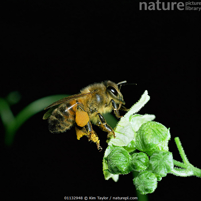 Honey bee worker visiting white bryony flower, note full pollen sacs  ,  BEES,ACTION,INSECTS,FLYING,SACS,HYMENOPTERA,FLIGHT,FLOWERS,Invertebrates , high speed ,honeybee,honeybees  ,  Kim Taylor