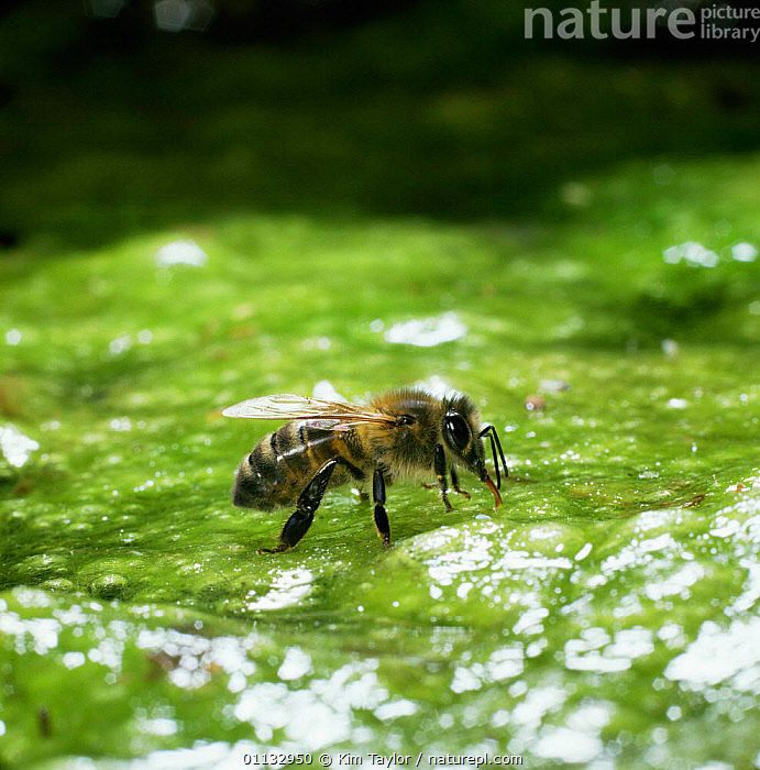 Honey bee [Apis mellifera] drinking from algae-covered pond  ,  BEES,ALGAE,FEEDING,HYMENOPTERA,INSECTS,Plants,Invertebrates ,honeybee,honeybees  ,  Kim Taylor
