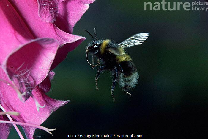 Bumble bee {Bombus sp) visiting foxglove flower  ,  FLOWERS,INSECTS,FLYING,FEEDING,HYMENOPTERA,NECTAR,ACTION,BEES,Invertebrates , high speed  ,  Kim Taylor