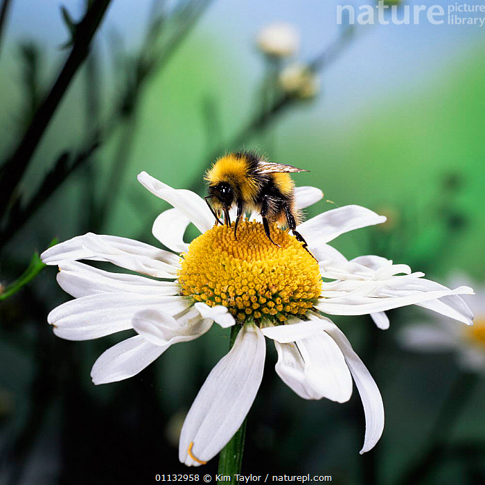 Early / Meadow Bumble bee {Bombus pratorum) on an oxeye daisy  ,  FEEDING,HYMENOPTERA,INSECTS,FLOWERS,VISITING,Invertebrates  ,  Kim Taylor