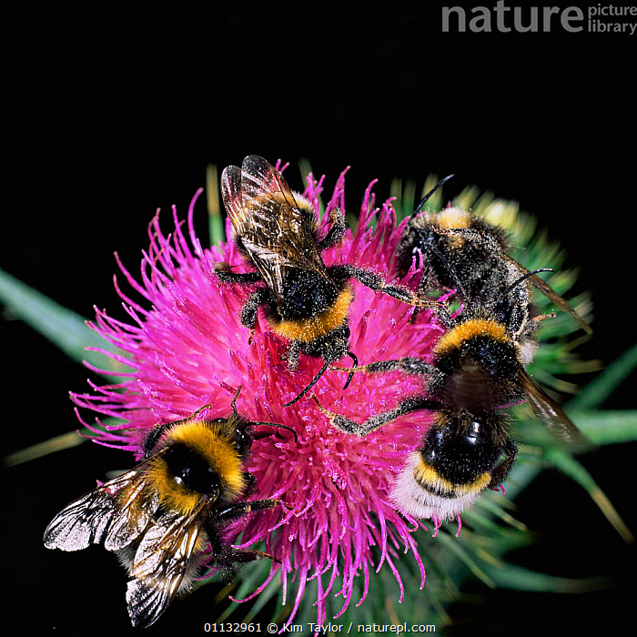 Four bumble bees {Bombus sp) feeding on spear thistle  ,  UK,POLLEN,FLOWERS,INSECTS,GROUPS,HYMENOPTERA,BEE,BEHAVIOUR,POLLINATION,Europe,United Kingdom,Invertebrates,British,,Dispersal,  ,  Kim Taylor