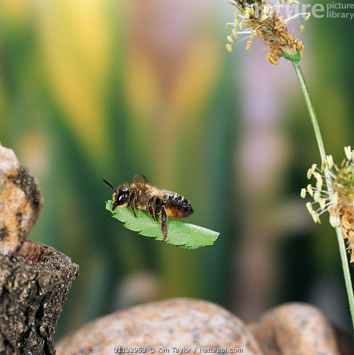Leaf-cutting bee {Megachile sp) female carries birch leaf to burrow amongst pebbles UK.  ,  EUROPE,HYMENOPTERA,FLYING,CARRYING,BEES,INSECTS,NESTING BEHAVIOUR,UK,United Kingdom,Reproduction,Invertebrates,British  ,  Kim Taylor