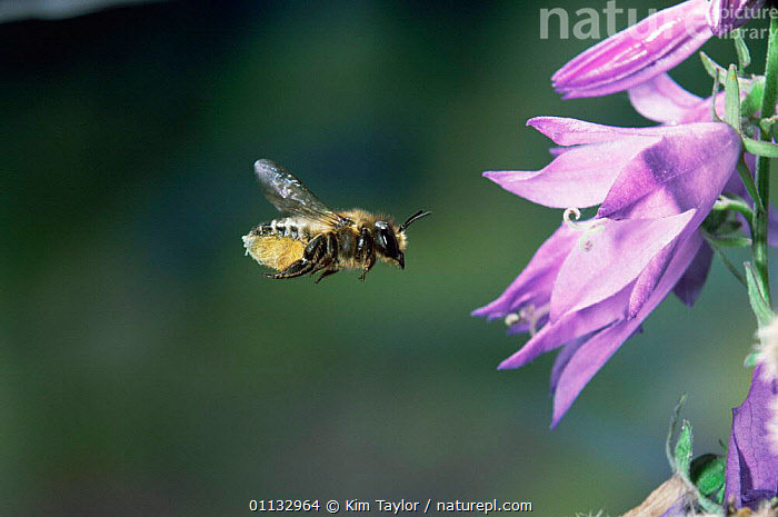 Leaf-cutting bee {Megachile sp) female visiting campanula flower to collect pollen and nectar UK.  ,  UK,FLYING,EUROPE,BEES,ACTION,INSECTS,HYMENOPTERA,United Kingdom,Invertebrates,British , high speed, United Kingdom  ,  Kim Taylor