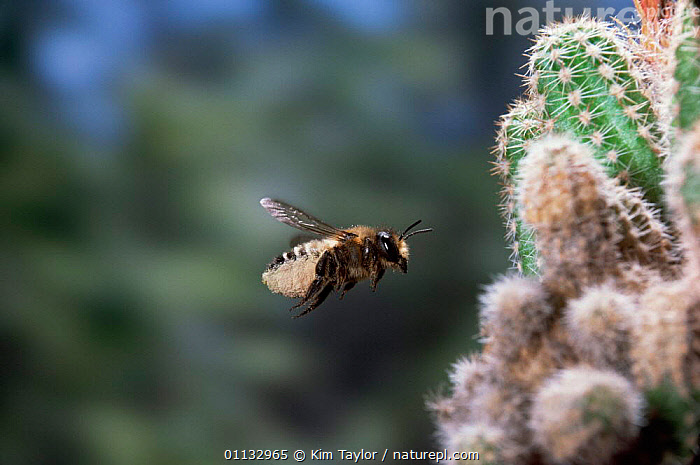 Leaf-cutting bee {Megachile sp) bringing pollen to nest amongst roots of cactus in garden  ,  GREENHOUSE,INSECTS,FEMALE,FLYING,ACTION,BEES,EUROPE,HYMENOPTERA,UK,United Kingdom,Invertebrates,British , high speed, United Kingdom  ,  Kim Taylor
