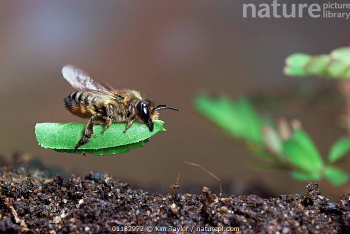 Leaf-cutting bee {Megachile sp) female near burrow entrance with a section of rose leaf UK.  ,  HYMENOPTERA,FLYING,UK,BEES,ACTION,ALIGHT,LIFE CYCLE,INSECTS,NESTING BEHAVIOUR,Europe,United Kingdom,Reproduction,Invertebrates,British , high speed, United Kingdom  ,  Kim Taylor
