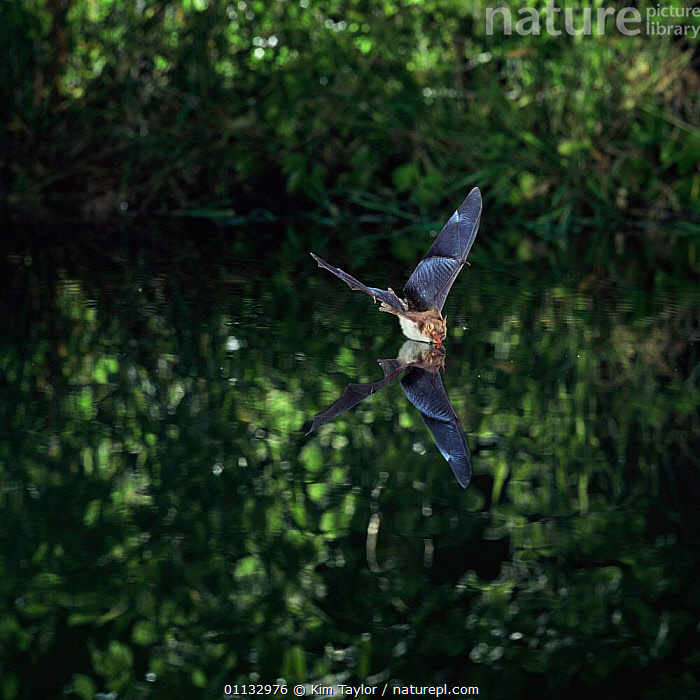 Natterer's bat {Myotis nattereri} drinking from still pool UK.  ,  UK,REFLECTIONS,MAMMALS,PONDS,NOCTURNAL,NATTERER,WATER,EUROPE,FLYING,CHIROPTERA,BATS,United Kingdom,British  ,  Kim Taylor