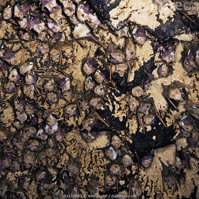 Giant / Commerson's leaf-nosed bat {Hipposideros commersoni} nursery colony in a limestone cave.  ,  AFRICA,BATS,CAVES,CHIROPTERA,GROUPS,MAMMALS,NOCTURNAL,SLEEPING,VERTEBRATES  ,  Kim Taylor