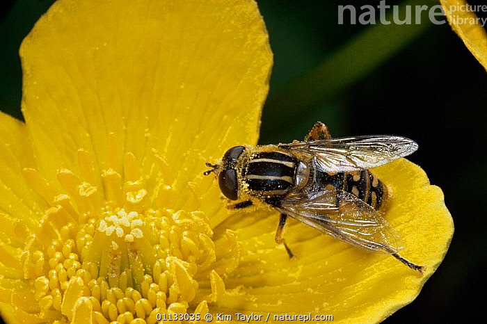Sunfly / hoverfly {Helophilus pendulus} pollinates Kingcup flower, UK.  ,  FLOWERS,POLLINATION,POLLEN,SUN,SUNFLIES,UK,FLY,DIPTERA,INSECTS,FEEDING,HOVER,EUROPE,BEHAVIOUR,United Kingdom,Invertebrates,British , hoverflies,,Dispersal,  ,  Kim Taylor