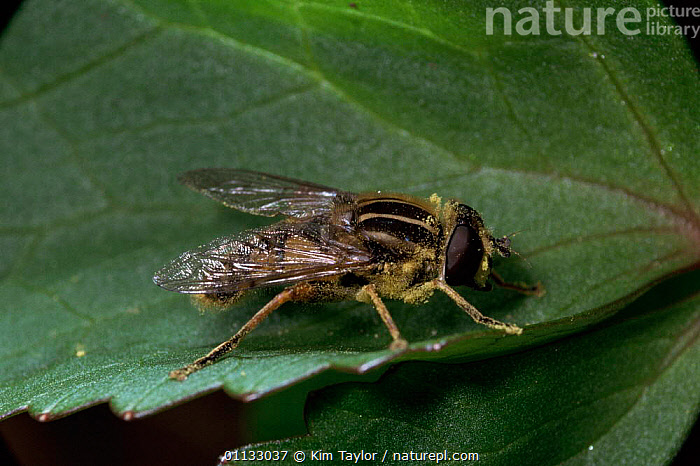 Sunfly / hoverfly {Helophilus pendulus} UK.  ,  UK,SUNFLIES,FLOWERS,INSECTS,FLY,HOVER,EUROPE,SUN,FLOWER,DIPTERA,United Kingdom,Invertebrates,British , hoverflies  ,  Kim Taylor