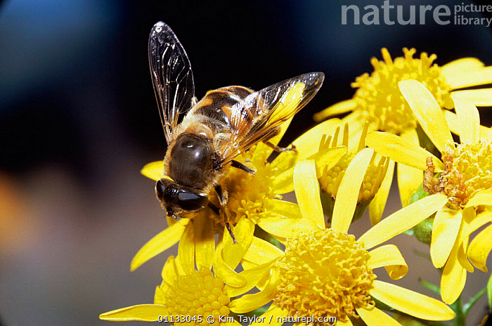 Hoverfly {Eristalis tenax} on Ragwort flowers, UK.  ,  POLLINATION,UK,HOVER,HOVERFLIES,PLANTS,INSECTS,BEHAVIOUR,DIPTERA,EUROPE,FEEDING,FLY,United Kingdom,Invertebrates,British,,Dispersal,  ,  Kim Taylor