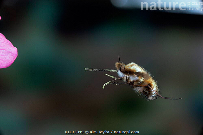 Common bee fly {Bombylius major} flying to flower with proboscis extended. UK.  ,  UK,INSECTS,FEEDING,POLLINATION,POLLEN,HUMOROUS,MOUTHPARTS,BEHAVIOUR,EUROPE,DIPTERA,EXTENDED,United Kingdom,Concepts,Invertebrates,British,,Dispersal,  ,  Kim Taylor