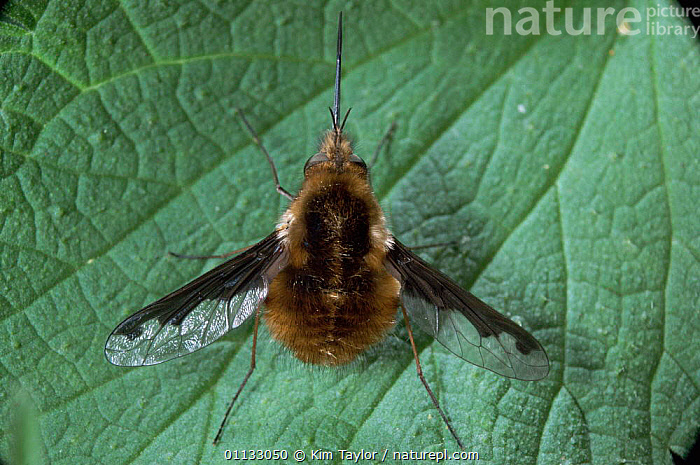 Common bee fly {Bombylius major} with proboscis extended. UK.  ,  DIPTERA,UK,INSECTS,EUROPE,EXTENDED,TO,United Kingdom,Invertebrates,British  ,  Kim Taylor