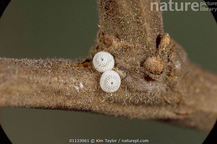 Brown hairstreak butterfly eggs on twig {Thecla betulae} UK.  ,  BUTTERFLIES,EUROPE,UK,INSECTS,LEPIDOPTERA,REPRODUCTION,United Kingdom,Invertebrates,British  ,  Kim Taylor