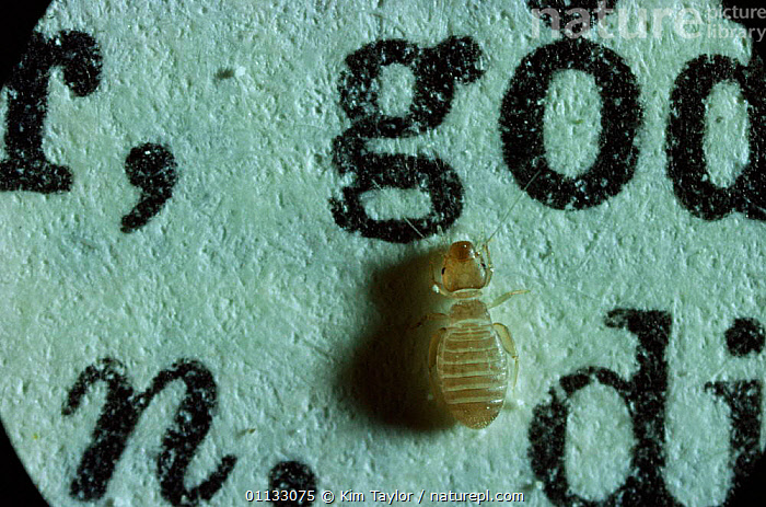 Book louse walking over book {Psocoptera sp} UK.  ,  LETTERS,SMALL,SIZE,UK,EUROPE,INSECTS,LITTLE,TEXT,PESTS,SP,United Kingdom,Invertebrates,British  ,  Kim Taylor