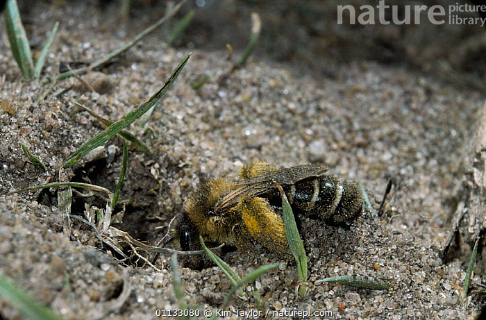 Hairy legged mining bee {Dasypoda hirtipes} female excavating sand from burrow. UK.  ,  NESTS,BEES,BEHAVIOUR,DIGGING,BURROW,INSECTS,EUROPE,HYMENOPTERA,UK,United Kingdom,Invertebrates,British  ,  Kim Taylor