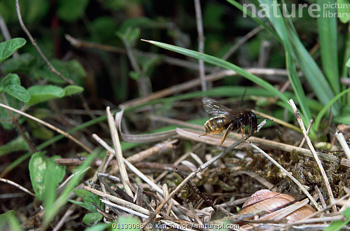 Mason bee {Osmia bicolor} female carrying dead grass to cover nest in snail shell, UK.  ,  SAND DUNES,BEES,BEHAVIOUR,FLYING,NESTS,MAKING,INSECTS,EUROPE,MOLLUSCS,UK,HYMENOPTERA,United Kingdom,Deserts,Invertebrates,British  ,  Kim Taylor