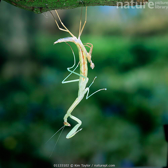 Japanese praying mantis {Paratenodera ardifolia} nymph shedding its skin. Japan.  ,  PHASMIDA,BEHAVIOUR,INSECTS,GROWTH,SKIN,MOULTING,JAPAN,PREYING,Asia,Concepts,Invertebrates,Mantodea,Catalogue1  ,  Kim Taylor