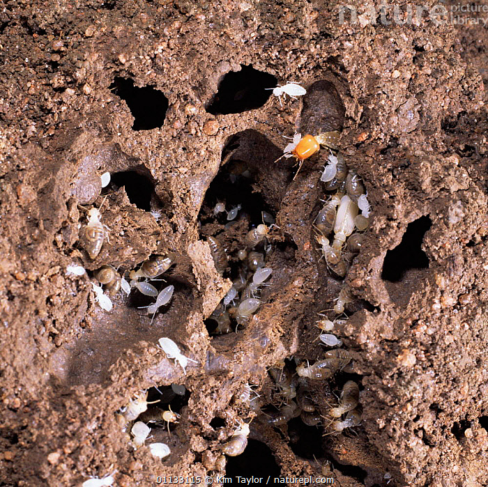 Forest termites {Isoptera} mound open showing workers, soldier and commensal beetle. E  ,  INSECTS,GROUPS,DEFENSIVE,COOPERATION,AFRICA,BEETLE,NESTS,Behaviour,Invertebrates,Isoptera ,TEAMWORK  ,  Kim Taylor