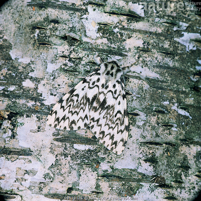 Black arches moth {Lymantria monacha} resting on birch tree trunk UK.  ,  CAMOUFLAGE,EUROPE,INSECTS,INVERTEBRATES,LEPIDOPTERA,MOTHS,NOCTUID MOTHS,UK,United Kingdom  ,  Kim Taylor