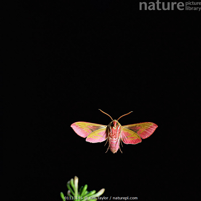 Elephant hawk moth in flight {Deilephila elepenor} UK.  ,  HAWKMOTH,NIGHT,LEPIDOPTERA,MOTHS,EUROPE,ELEPENOR,FLYING,HONEYSUCKLE,INSECTS,UK,United Kingdom,Invertebrates,British, United Kingdom, United Kingdom, United Kingdom,Catalogue1  ,  Kim Taylor