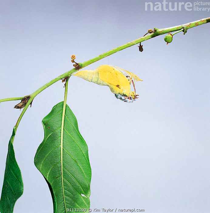 Brimstone butterfly male {Gonepteryx rhamni} emerging from pupa. sequence 2/2. UK.  ,  BUTTERFLIES,EUROPE,INSECTS,LEPIDOPTERA,METAMORPHOSIS,HATCHING,LIFE CYCLE,PUPAE,PUPA,UK,United Kingdom,Growth,Invertebrates,British,Concepts  ,  Kim Taylor
