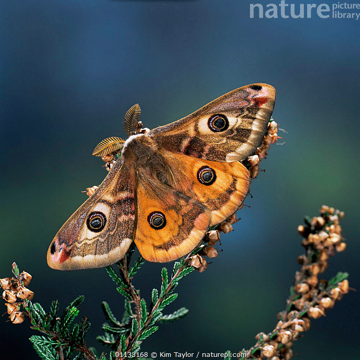 Emperor moth {Saturnia pavonia} male on heather UK.  ,  EMPEROR-MOTHS, EUROPE, INSECTS, INVERTEBRATES, LEPIDOPTERA, MOTHS, UK,United Kingdom  ,  Kim Taylor