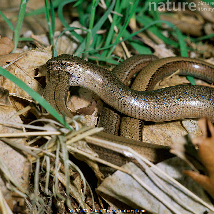 Slow-worm {Anguis fragilis} mating dance. UK.  ,  REPRODUCTION,UK,REPTILES,LIZARDS,MATING BEHAVIOUR,MALE FEMALE PAIR,DISPLAY,DANCE,EUROPE,United Kingdom,Communication,British,,Lizards,,,Lizards,  ,  Kim Taylor