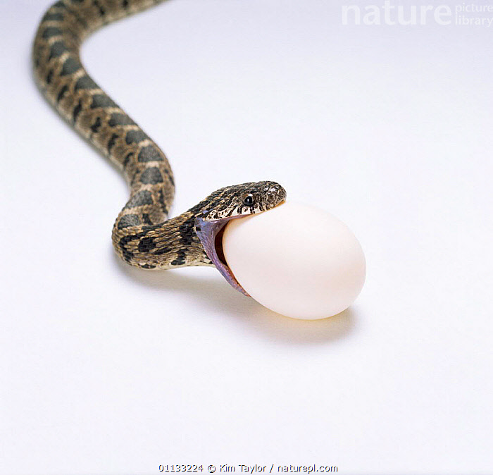 Egg eating snake about to swallow egg, Sequence 1/8 {Dasypeltis scabra} Africa  ,  EGGS,FEEDING,BEHAVIOUR,JAWS,REPTILES,MOUTHS,INTERESTING,SWALLOWING,SNAKES,Catalogue1  ,  Kim Taylor
