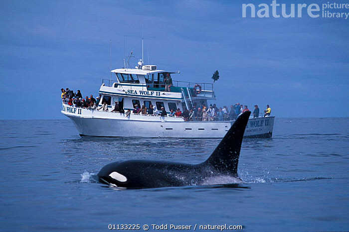 Adult male transient killer whale {Orcinus orca) + whale watching boat. Monterey Bay, California, USA.  ,  MARINE,MAMMALS,TOURISM,USA,PACIFIC,CALIFORNIA,PEOPLE,BOATS,BOAT,DOLPHINS,CETACEANS,NORTH AMERICA,OCEAN,Catalogue1  ,  Todd Pusser