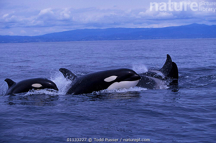 Pod of transient killer whales patrol the waters of Monterey Bay, California, USA.  ,  GROUPS,USA,FAMILIES,PACIFIC,DOLPHINS,OCEAN,CALIFORNIA,MAMMALS,CETACEANS,MARINE,NORTH AMERICA  ,  Todd Pusser