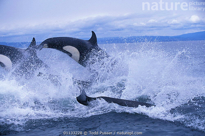 Pod of transient killer whales {Orcinus orca} porpoising, Monterey Bay, California, USA.  ,  PACIFIC,SPRAY,WATERS,CETACEANS,NORTH AMERICA,MAMMALS,FAMILIES,BEHAVIOUR,ACTION,CALIFORNIA,JUMPING,DOLPHINS,USA,GROUPS,OCEAN,LEAPING,MARINE,Catalogue1  ,  Todd Pusser