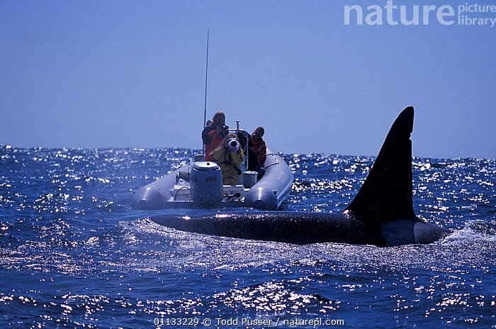 Researchers + adult male transient killer whale {Orcinus orca} Monterey Bay, California, USA.  ,  MARINE,USA,NORTH AMERICA,OCEAN,PEOPLE,PACIFIC,CETACEANS,CALIFORNIA,BOATS,DOLPHINS,RESEARCH,MAMMALS  ,  Todd Pusser