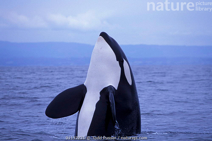 Transient killer whale {Orcinus orca} spy hopping, Monterey Bay, California, USA.  ,  NORTH AMERICA,MARINE,PORTRAITS,USA,CETACEANS,BEHAVIOUR,DOLPHINS,OCEAN,MAMMALS,PACIFIC,SPYHOPPING  ,  Todd Pusser